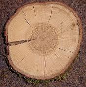 kern van eikenhout